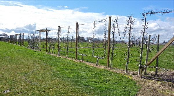 WELCOME Espalier in Fruit Garden