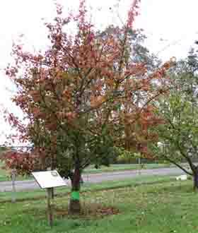 Shipova fall color small