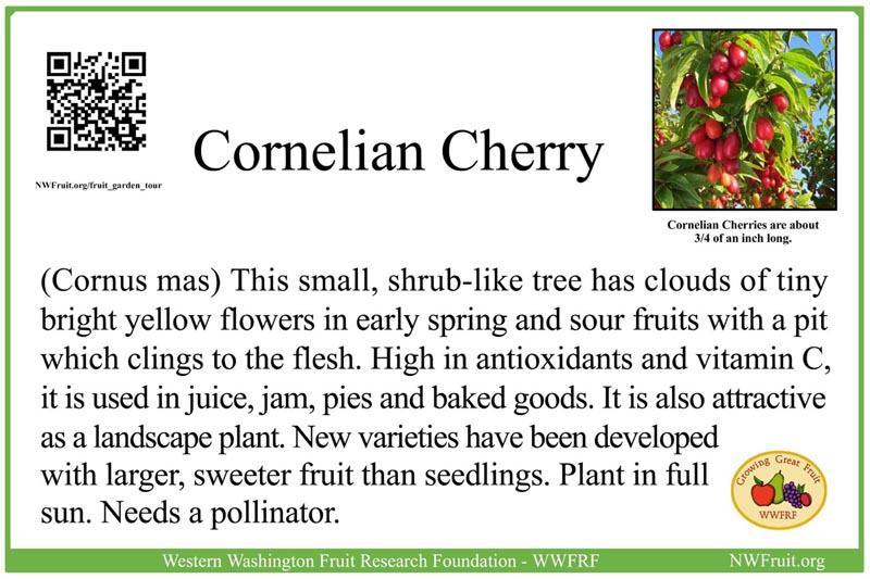 Cornelian Cherry small res