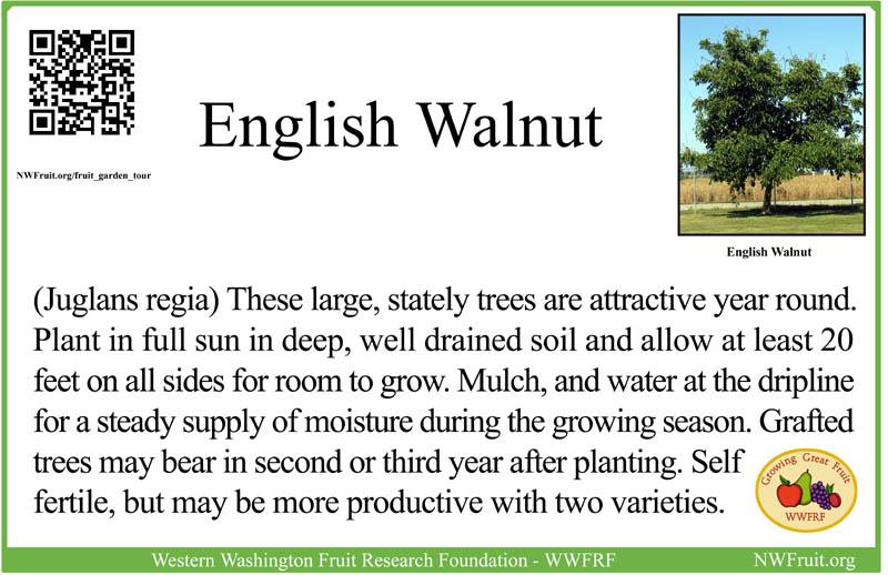 English Walnut sm