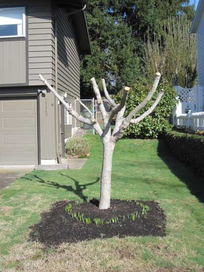 .FIG.CALIF.PRUNED