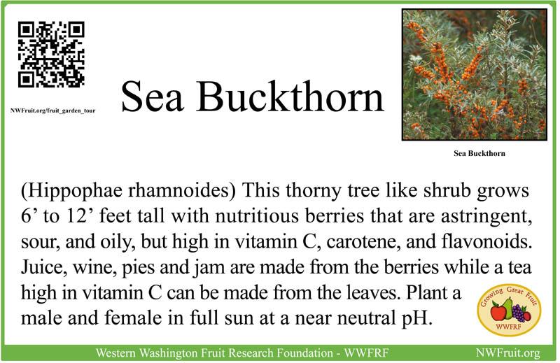 Sea Buckthorn sm
