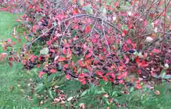 Aronia fall color sm