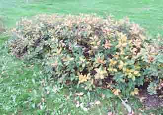 Blue Honeysuckle fall color sm