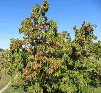 Corn Cherry bush sm