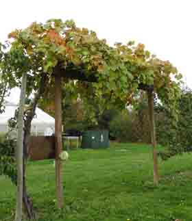 Grapes fall color sm