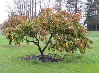 Persimon tree sm