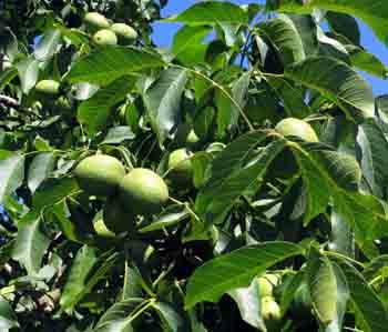 Walnut fruits July small
