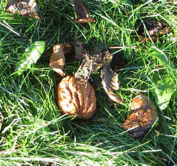 Walnut in grass sm