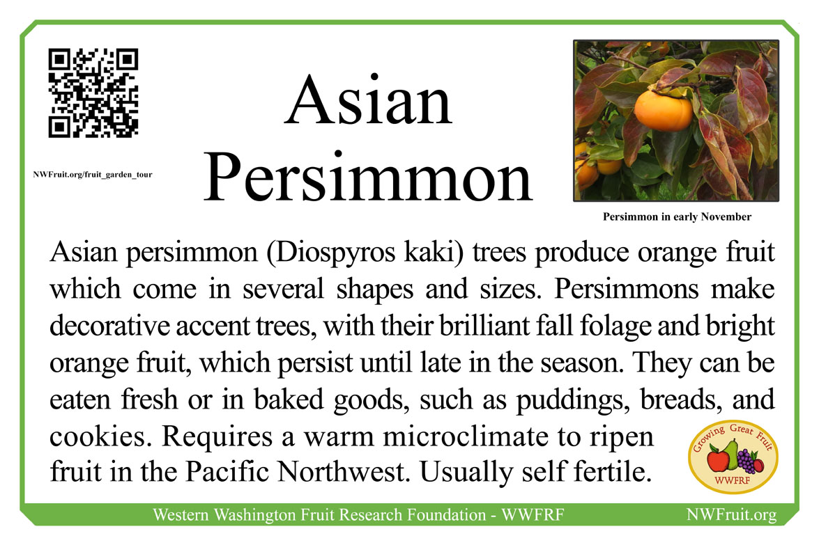 Asian Persimmon