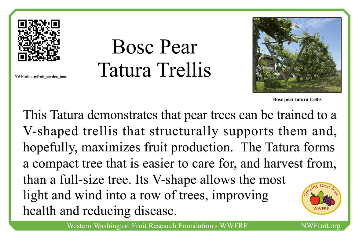 Bosc pear Tatura trellis
