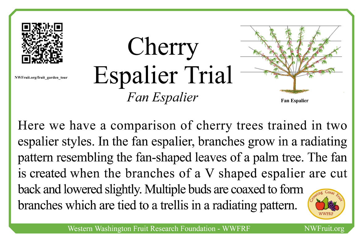 Cherry Espalier Trial Fan