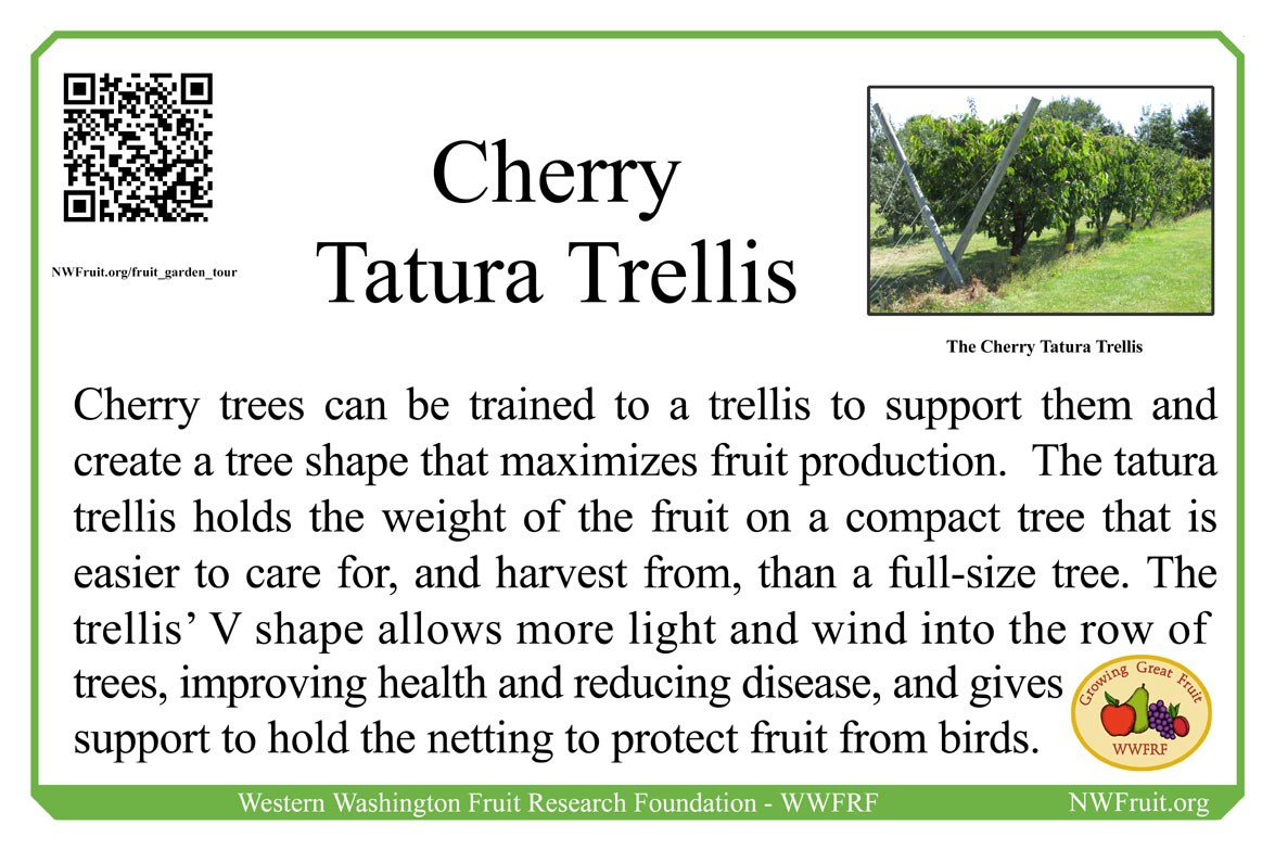 Cherry Tatura trellis
