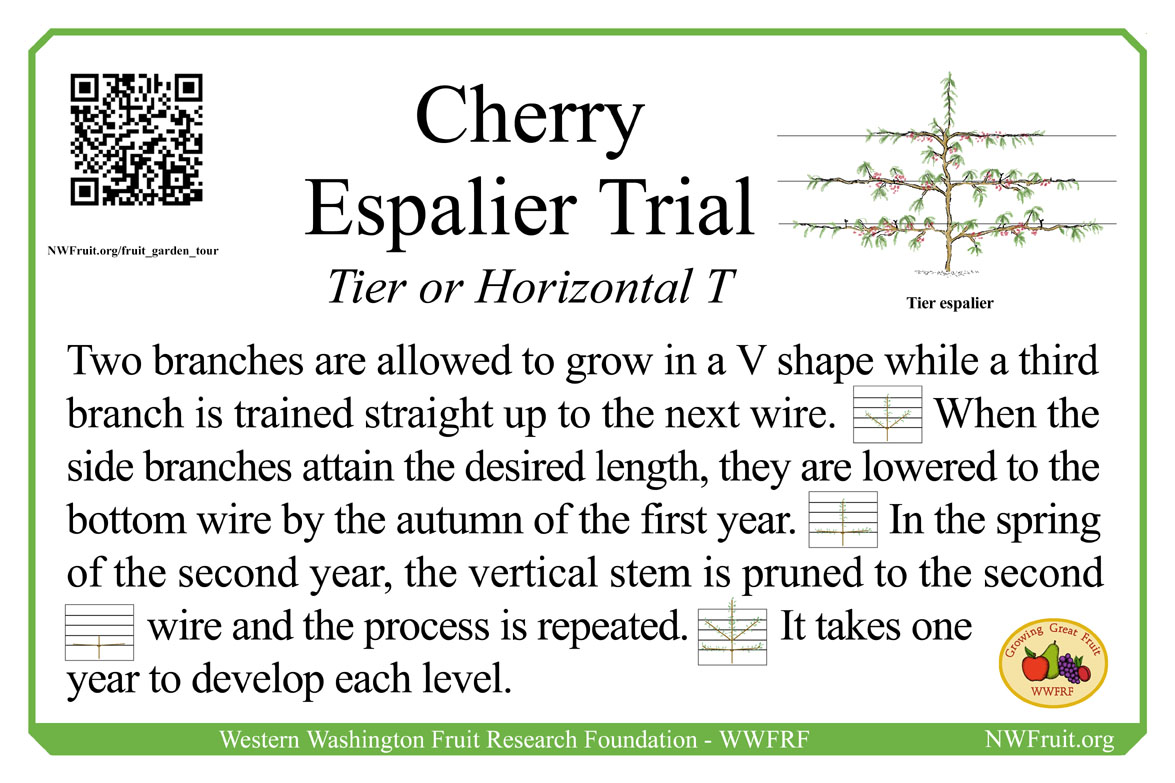 Cherry Tier espalier