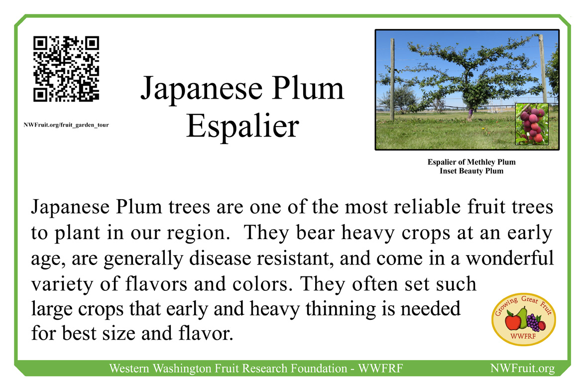 Japanese plum espalier