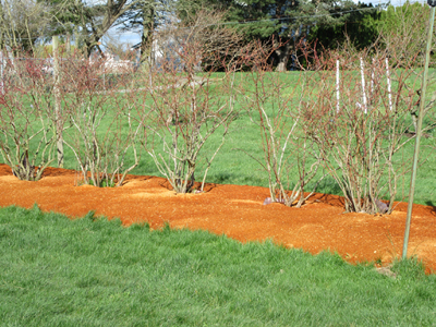Blueberry mulch sm