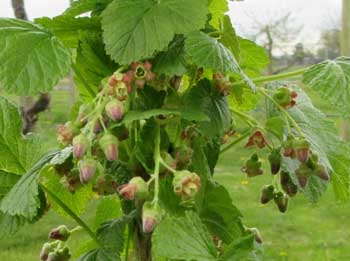 Currant buds and flowers sm