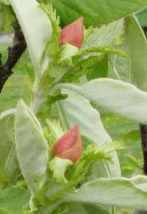 Quince buds sm