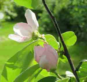 Quince flowers sm