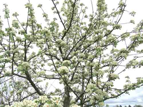 Shipova bloom sm
