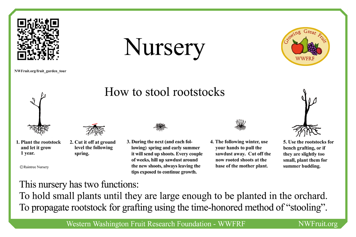 Stooling rootstock sm