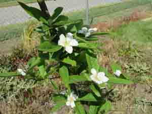 medlar bloom sm